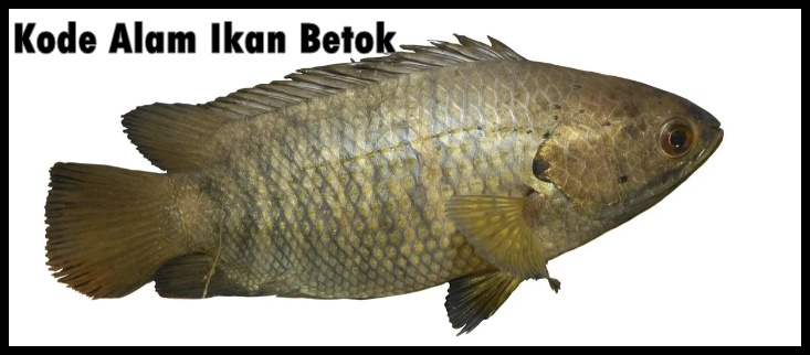 Kode Alam Ikan Betok
