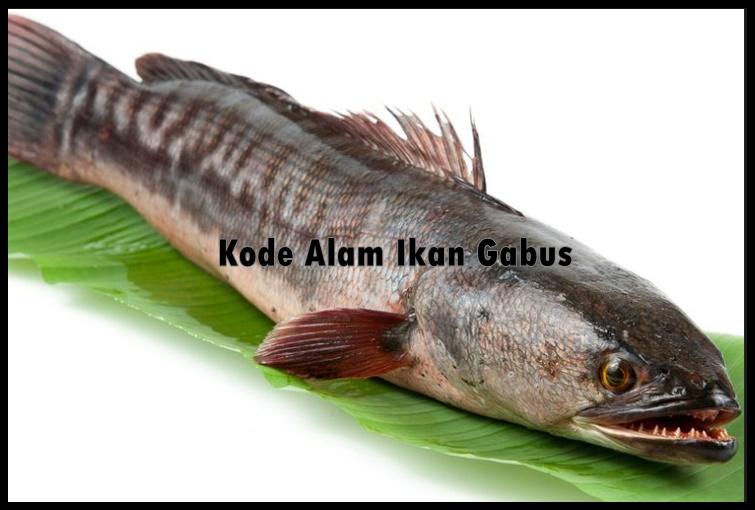Kode Alam Ikan Gabus