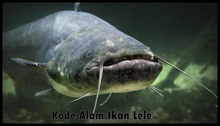 Kode Alam Ikan Lele